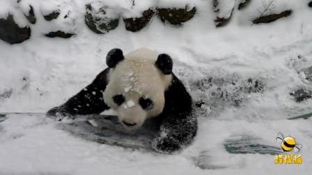 超萌! 湖北神农架大熊猫雪中撒欢迎新年