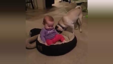 小主人把狗狗的窝给占了 这是我的窝, 快还给我!