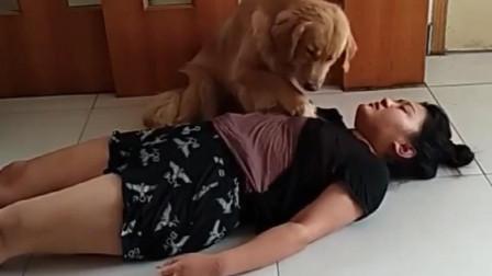这只金毛和女主人之间的故事, 感动了万千网友, 这狗简直绝了!