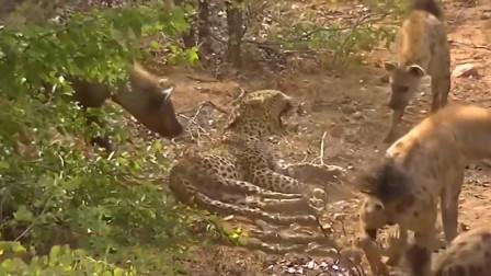豹子觅食遇上鬣狗群, 结果被当成玩具戏耍, 镜头拍下全过程