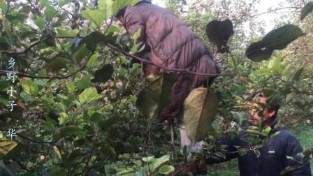 农村果园留着的苹果, 为啥霜降后采摘? 知道原因大家心里乐开了花