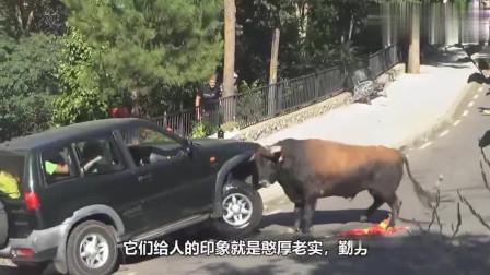 发狂的公牛有多猛? 无辜的汽车躺着也中枪, 水箱轮胎都被顶破了!