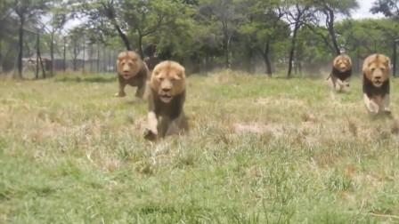 饲养员投放食物, 狮子直接飞奔而来, 网友: 饿了多久?