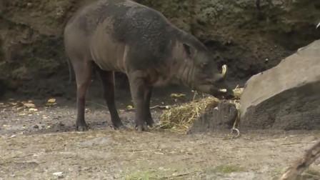 """鹿和猪的""""结合体"""", 是印度尼西亚独有的动物, 现已濒临灭绝"""