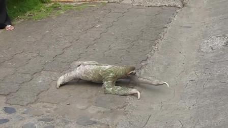 世界上移速最慢的动物, 平均每秒仅0.2米, 身上还长有植物