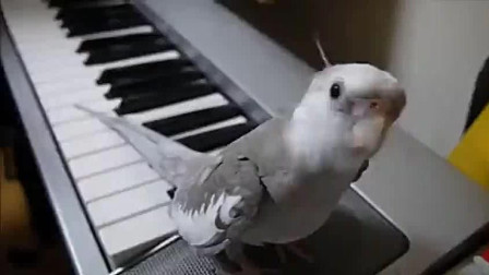 玄凤鹦鹉的惊人天赋, 居然会配合主人弹钢琴!