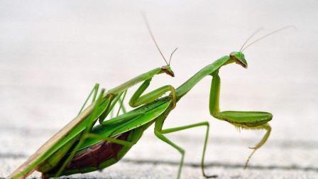 螳螂捕杀鸟, 速度也是快得吓人!
