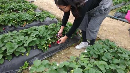 我们去摘草莓