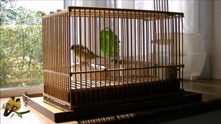 鸟友家的黄雀叫的真好听