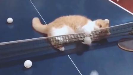 和猫咪打乒乓球,这猫咪的技术可以进国家队了吗?