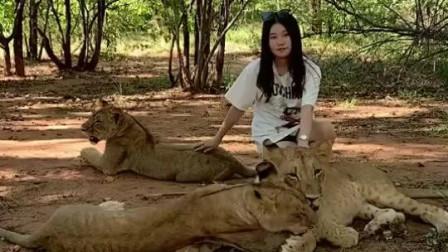 在非洲野外摸狮子,传说中的美女与野兽!网友:它们一定是吃饱了