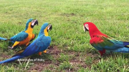 琉璃金刚红蓝金刚鹦鹉放飞愉快的一天