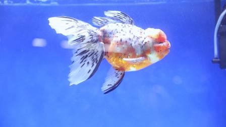 为什么仙气飘飘的金鱼总是别人家的好!原来养鱼秘籍这么简单啊