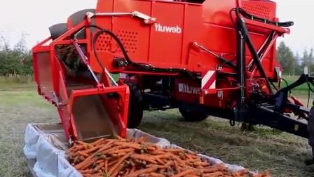 国外现代化农场胡萝卜收获机操作现场,这个真的可以有