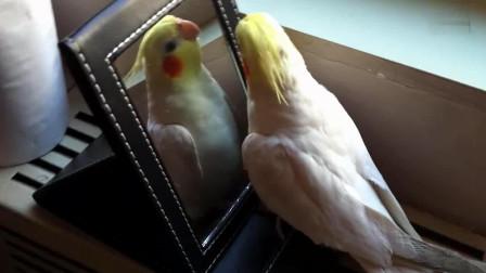 玄凤鹦鹉第一次照镜子 还以为主人带了只母鸟回来 兴奋坏了
