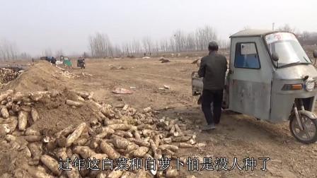 几万斤白萝卜滞销没人要,街坊邻居拿回家喂牲口真可惜