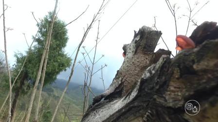 农村小伙在贵州山中行走,发现一棵烂木头上长满了黑木耳满山山珍