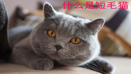 短毛猫和长毛猫 哪知喵是你的心头爱