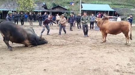 黑牛开打前玩了很多花招式,黄牛心里没底了