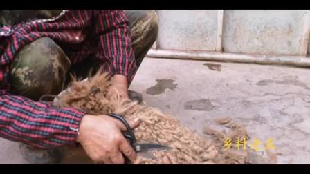 大叔花80元钱买的长毛狗,剪毛之后一看高兴坏了,估计能值不少钱