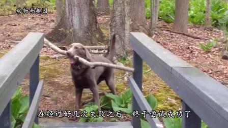 有志者事竟成,小狗失败多次后终于把木棍送到桥对面!