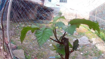 双季红树莓生长纪录3