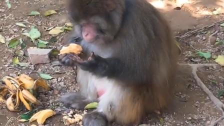 猴子吃东西发现没洗手,以为吃翔了