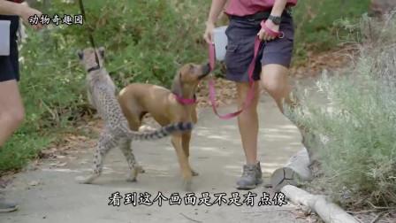 小猎豹被妈妈遗弃,热情的汪哥哥接手照顾,并且成为了好朋友!