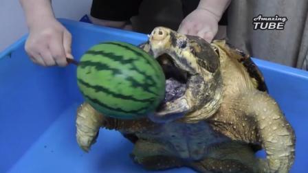 鳄龟的咬力不是盖的: 西瓜、菠萝都是一口咬碎
