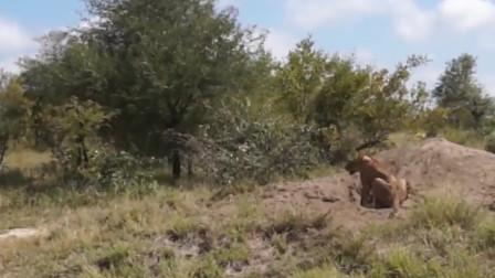 几头狮子趴地上刨疣猪洞,本想饱餐一顿,最后狮子可怜了