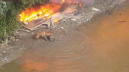实拍火灾发生,狗狗急的乱窜,太可怕了!