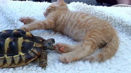 乌龟不甘被欺负,趁猫咪睡着了去咬猫咪的脚,接下来憋住别笑
