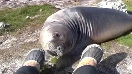 一只海豹闻了闻臭脚,随后笑翻众人,海豹:你别动,我滚远点!