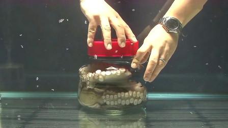 一只章鱼被关进密封的罐子中,接下来就是见证奇迹的时刻了!