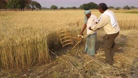 印度特色割麦子神器,一拉一大片,刷新我的三观,真是长见识了!