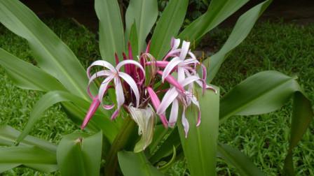 在家养观赏植物,却不知道它有药用,在《本草纲目》还有明确记载