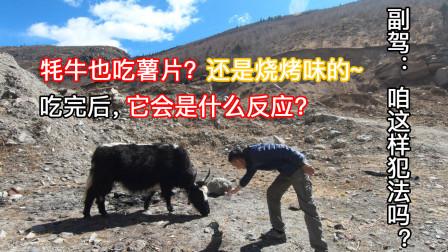 临沂小伙自驾去西藏,本想在这做顿午餐吃,结果被这头牦牛搅黄了