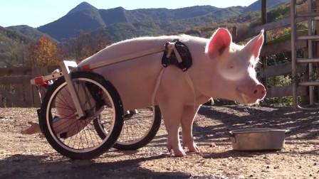 农场主给后腿残疾的猪定制轮椅,网友不解:这是为提高肉质?