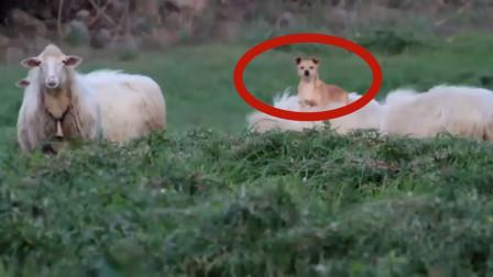 牧羊犬中的高手,躺在羊背上指挥羊群,镜头记录下全过程