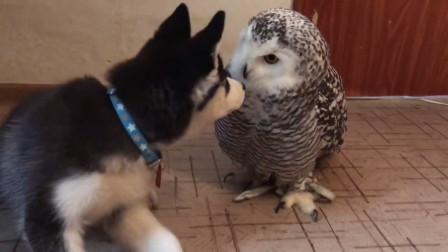 把猫头鹰和哈士奇放在一起养,不用多久,猫头鹰就被带跑偏