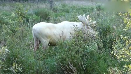 野外小溪边突然出现罕见的白色大驼鹿,网友:真酷!
