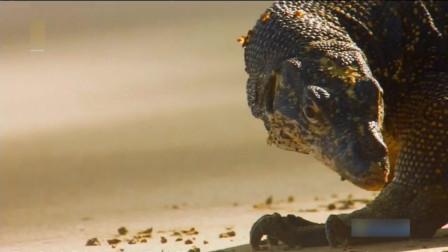沼泽巨蜥是世界上第二大蜥蜴,在海滩上觅食小螃蟹