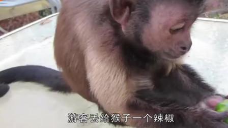 镜头拍下全过程,游客扔给猴子一个辣椒,猴子咬一口后当场发疯