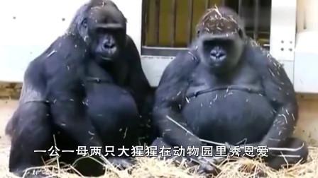 一公一母两只大猩猩在动物园秀恩爱,镜头记录全过程,像极了爱情
