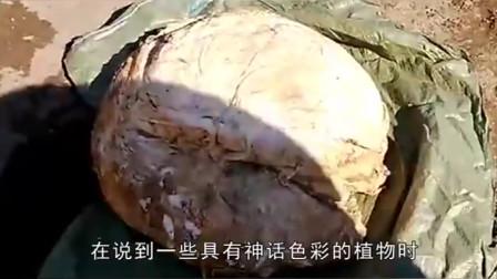 """中国""""太岁""""是什么物种?你想都想不到,揭开太岁的庐山真面目"""