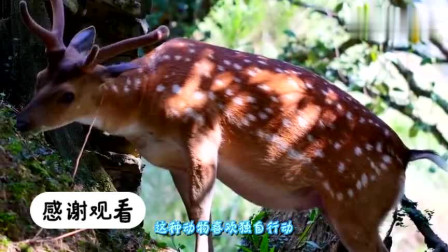 国外女子养了8只梅花鹿,喂饭时就像在打仗,太可爱了