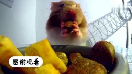 国外小哥为仓鼠准备一套障碍关卡,仓鼠会有何表现?