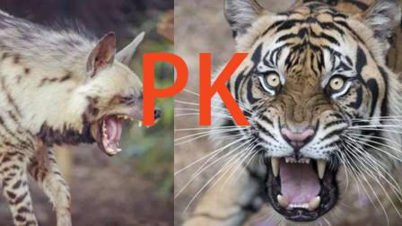 老虎对战80多只鬣狗,咬死50多只还能再战,战斗力太强悍了
