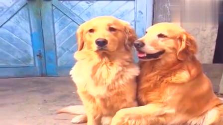 狗狗迪迪要回答主人的问题,帮铲屎的拿东西,狗生艰巨
