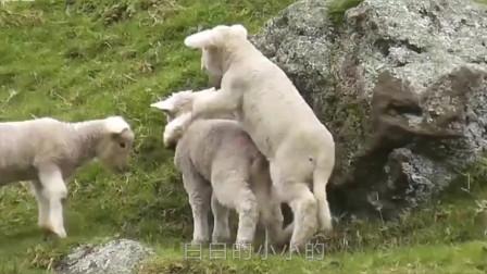 母羊突然怀孕,小羊生出来后,主人傻了:到底谁是你爹?